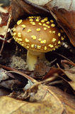 Brown mushroom with yellow speckles Stock Image