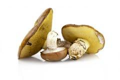 Brown mushrooms Stock Images