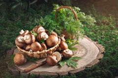 Brown mushrooms in a basket on a tree stump. Stock Photography