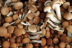 Brown mushrooms called Pioppini sold at local market Royalty Free Stock Images