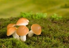 Brown mushrooms fairytale scene Royalty Free Stock Photos