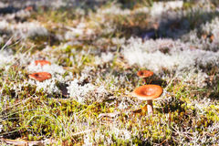 Brown mushrooms grow on moss in forest Royalty Free Stock Photos