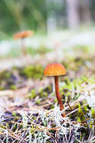 Brown mushrooms grow on moss in forest Stock Photos