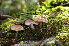 Brown mushrooms growing in the autumn forest Royalty Free Stock Images