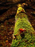 Brown mushrooms growing in moss on fallen tree Royalty Free Stock Image
