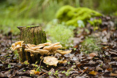 Brown mushrooms growing on a tree stump Stock Photography