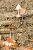 Brown Mushrooms growing on tree trunks Royalty Free Stock Image
