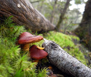Brown mushrooms in moss Stock Image