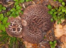 Brown mushrooms in wood Stock Images