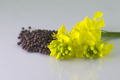 Brown Mustard seeds and mustard flower Royalty Free Stock Photos