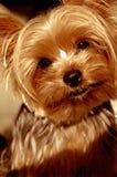 Brown musterte Hund Stockbild