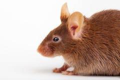 Brown mysz obrazy royalty free