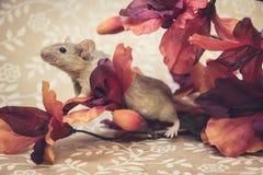 Brown myszy spadku kolory obrazy stock