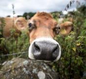 Brown nabiał krowy portret i ampuła obwąchuje nos obraz stock
