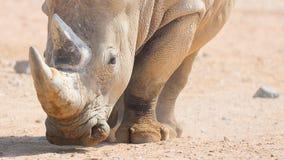 Brown-Nashorn Stockfotografie