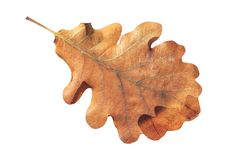Brown natural fallen autumn leaf plant isolated on white Royalty Free Stock Photos