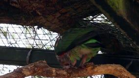 Brown Necked papuga zdjęcie wideo