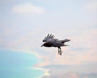 Brown-necked raven Royalty Free Stock Photo