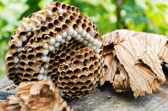 A brown nest of hornets on a wooden barrel on a sunny day. A brown nest of hornets on a wooden barrel on a summer sunny morning stock images