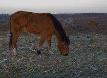 Brown New Forest pony early morning Stock Images