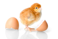 Brown newborn chicken with egg shells Stock Photo