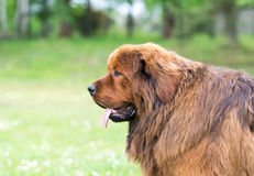 Brown newfoundland dog. Stock Photo