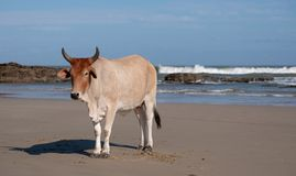 Brown Nguni cow lies in the sand at Second Beach, at Port St Johns on the wild coast in Transkei, South Africa. royalty free stock photo