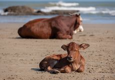 Brown Nguni cow and young calf lie in the sand at Second Beach, at Port St Johns on the wild coast in Transkei, South Africa. stock images