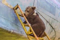 Brown niedźwiadkowy lisiątko Ciekawski, ciekawy i śmieszny, Był w górę drabiny dalej i no może dostawać puszek fotografia stock