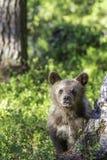 Brown niedźwiadkowy lisiątko czujny w lesie (Ursus arctos) zdjęcie royalty free