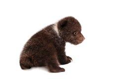 Brown Niedźwiadkowy lisiątko na bielu, (Ursus arctos) Zdjęcie Stock