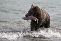 Brown niedźwiedź łapie ryba w jeziorze Zdjęcie Royalty Free