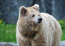 Brown Niedźwiedź Zdjęcia Royalty Free