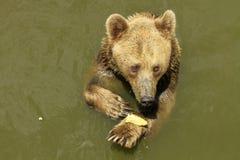 Brown niedźwiedź Zdjęcie Royalty Free