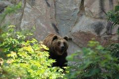 Brown niedźwiedź Fotografia Royalty Free
