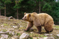 Brown niedźwiedź Zdjęcie Stock