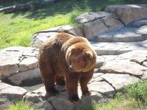 Brown niedźwiedź Zdjęcia Stock