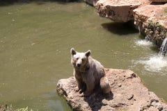Brown niedźwiedź bawić się blisko wody z kapuścianym liściem w lato słonecznym dniu, zwierzę, niedźwiedź, brąz niebezpieczny, duż zdjęcia stock