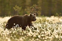 Brown niedźwiedź chodzi w kwitnącym bagnie Obraz Royalty Free