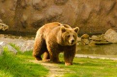 Brown niedźwiedź chodzi w zoo Zdjęcia Royalty Free