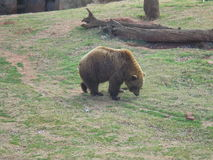 Brown niedźwiedź grazeing Zdjęcie Stock