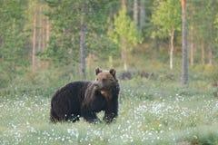 Brown niedźwiedź iść i ogląda Obraz Royalty Free