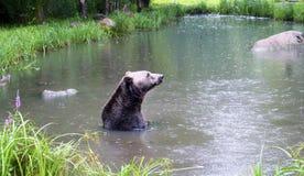 Brown niedźwiedź kąpać się w jeziorze fotografia royalty free