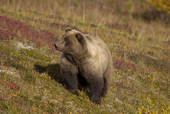 Brown niedźwiedź na spadek tundrze zdjęcia stock