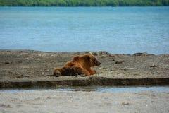 Brown niedźwiedź odpoczywa w brzeg Fotografia Stock