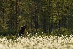 Brown niedźwiedź odpoczywa w lesie Fotografia Stock