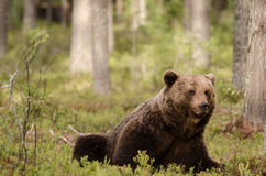 Brown niedźwiedź siedzi i je Zdjęcie Stock