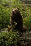 Brown niedźwiedź siedzi na skale Fotografia Royalty Free