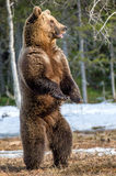 Brown niedźwiedź stoi na jego tylnych nogach obraz stock