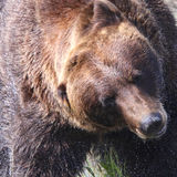 Brown niedźwiedź Trząść z wody Obraz Royalty Free